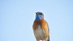 Western Bluebird male (Pat Durkin OC) Tags: westernbluebird sialiamexicana male
