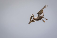 Crash Diet (gseloff) Tags: galveston bird texas feeding diving brownpelican bif westbay gseloff