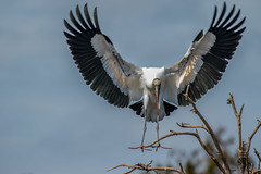 Wood Stork in Flight (Bill Varney) Tags: wood sky tree bird flying florida outdoor wildlife flight wetlands stork bif billvarney