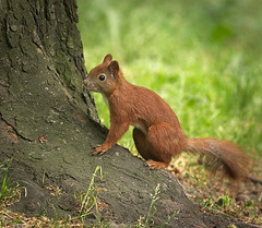Young one (hedera.baltica) Tags: squirrel redsquirrel wiewirka sciurusvulgaris eurasianredsquirrel wiewirkapospolita