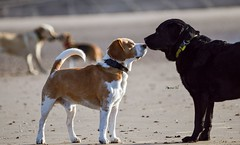 My boys met The beach Beagles (Sharron Burns) Tags: greeting beach beagles labs