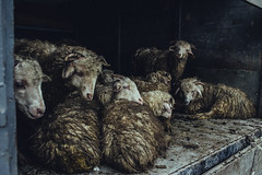 (Dato Koridze (Photomaker D.K)) Tags: travel portrait people animal animals portraits canon photography photo sheep photograpy vsco vscocam