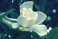 P6242168 (eriko_jpn) Tags: whiteflower gardenia