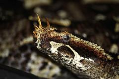 Cape Fear Serpentarium, Wilmington NC (osubuckialum) Tags: africa nc display reptile snake horns northcarolina exhibit wilmington viper nasal venomous 2016 puffadder rhinocerosviper riverjack