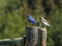 A second's rest, together (annkelliott) Tags: trees canada male bird nature female wooden spring adult bokeh outdoor father mother together alberta perched bluebird sideview sidebyside ornithology avian fenceposts mountainbluebird turdidae sialia sialiacurrucoides annkelliott allrightsreserved anneelliott swofcalgary fz200 fz2003 anneelliott2016 25june2016