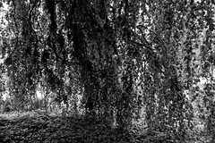 Buche in Hiltrup - 2016 - 0006_Web (berni.radke) Tags: tree giant baum beech mnster buche colossus riese hiltrup