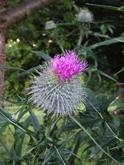(TranceSquirrel) Tags: wildlife summer jaggy purple symbol scotland scottish thistle