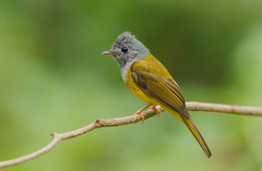 Grey Headed Canary Flycatcher (akhanhk) Tags:
