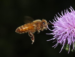 Honey Bee Flying To A Thistle Flowerhead  DSCF0447 (Ted_Roger_Karson) Tags: camera flowers winter friends flower macro animal yard bug insect lens back illinois eyes fuji hand outdoor thistle super bee honey fujifilm hd pollen held northern supermacro honeybee flowerhead twop m150 raynox macroscopic pollinator raynoxdcr150 supermacrolens dcr150 handheldcamera thistleflowers xs1 thisisexcellent macrolife thistleflowerhead fujifilmxs1