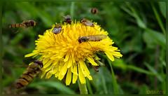 20160703-Canon PowerShot SX720 HS-IMG_0445-2.jpg (fretz.jeannot) Tags: pflanze makro insekt plume lwenzahn schwebefliege