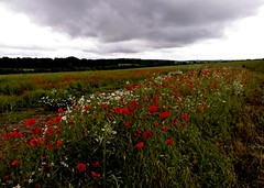 A reminder for the anniversary of the Somme (Englepip) Tags: red sky daisies stormy poppies