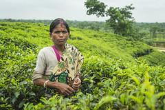 Srimangal-6293 (BohemianTraveler) Tags: asia tea bangladesh srimangal srimongol sreemangal