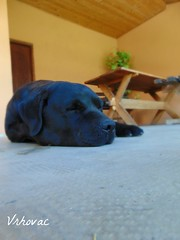 (Vrhovac98) Tags: dog pet black animals sony labs dsch300