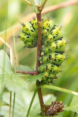 Emperor Moth (Gareth Christian) Tags: caterpillar d750 emperormoth kwt magpiebottom nikon saturniapavonia