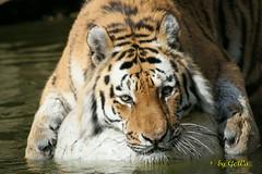 Sibirischer Tiger (Geralds-Raubtiere) Tags: sibirischertiger zoowuppertal flickrbigcats