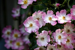 Rosy season (tanakawho) Tags: pink plant flower rose season dof bokeh neighborhood bicolor tanakawho