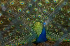 Peacock (rosewoodoil) Tags: color colour bird birds peacock 100views 100 50 50views birdwatcher photographedublin