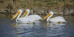 Three Pelicans (AnitaBurke1) Tags: pelicans birds three spring nikon threelittlebirds birdrefuge 2013 bearriverbirdrefuge d5100 anitaburke