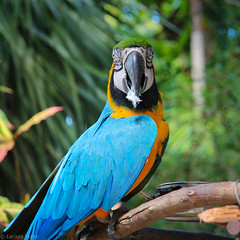 Ardastra Gardens - Caught Preening (Larssa) Tags: travel birds animals square parrot macaw 2012 thebahamas ardastragardens