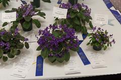 Saintpaulia (S. 5c1) clone ionantha (khufram) Tags: austin convention ionantha africanviolet 2013 avsa