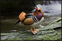 Mandarin Duck 2 (RoosterMan64) Tags: mandarinduck tarongazoo