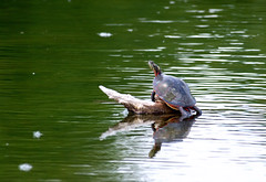 "I Like Turtles • <a style=""font-size:0.8em;"" href=""http://www.flickr.com/photos/29084014@N02/9008684635/"" target=""_blank"">View on Flickr</a>"