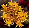 Pacific Stonecrop-sm (steve laymon) Tags: highway1 crassulaceae walkercreek marinco sedumspathulifolium pacificstonecrop