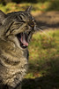 meow (janesdaughter) Tags: cat kitty gato bocejo yawning bocejando