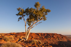 Tree Growing On Rock (Serendigity) Tags: sunset tree nature rock nationalpark desert australia canyon outback kingscanyon northernterritory eroded ghostgum watarrka