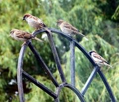17th Jun 13 House Sparrows watch cat from gate (Cardedfolderol) Tags: birds gate sparrow housesparrow gardenbirds