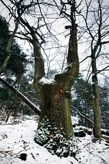 Remarkable tree. (O.Blaise) Tags: france tree nature forest photo site oak stage formation trail promenade biology arbre sentier ballade fort fontainebleau tourisme remarkable balade massif chne forestier remarquable denecourt leniddelaigle
