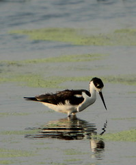 Black-Necked Stilt (Lana Gramlich) Tags: black reflection bird lana nature animal catchycolors louisiana himantopusmexicanus wildlife birding waterfowl stilt nationalwildliferefuge nwr necked gramlich orleansparish bayousauvage neworleanseast fantasticnature dragondaggerphoto canoneosrebelt2i lanagramlich aug172013