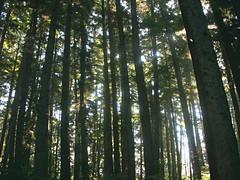 Looking through the trees (natalie.hope) Tags: trees brown green nature beautiful alaska lush treetrunks talltrees