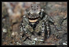 Marpissa muscosa (cquintin) Tags: arthropoda araignée araneae marpissa salticidae muscosa