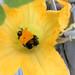 Three Bumblebees sucking sweet nectar