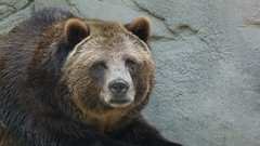 """Grizzly Bear Relaxing 1 • <a style=""""font-size:0.8em;"""" href=""""http://www.flickr.com/photos/77994446@N03/9639653743/"""" target=""""_blank"""">View on Flickr</a>"""