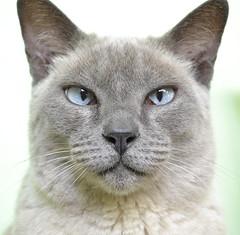 My grandmama's cat (Isabelle S.S) Tags: blue eye animal azul cat de eyes nikon kitty olhos gato gata olho bicho estimao