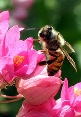 I Just Got Flipped Off by a Bee (WildAtHeartPhoto) Tags: flower cute insect bee honey invertebrate
