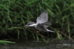 Crested Kingfisher (Hitoshi.K) Tags: bird nature animals wildlife kingfisher 7d greatnature