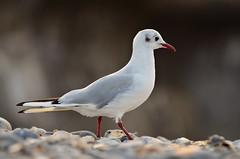 Is it a Penguin? No, it's a Black headed Gull in winter plumage! (Bikeronnie) Tags: sea bird beach lens seaside nikon rocks legs stones side norfolk feathers kit nikkor cromer 18105 d7000