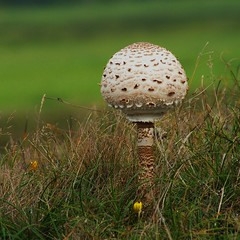 a small world (henk hessel photography) Tags: macro texture nature mushroom island dof skin dunes texel