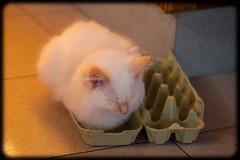 Diesel at 16 weeks old (Craig Jewell Photography) Tags: cute cat iso800 kitten diesel fluffy australia 100 f28 ragdoll redpoint 16weeks flamepoint 2013 0ev sec ef100mmf28lmacroisusm canoneos1dmarkiv filename20130922071224x0k0413cr2