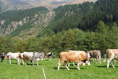 Ratschings Almabtrieb (lazzo51) Tags: italy mountains landscape landscapes cows fields sdtirol altoadige southtyrol ratschings almabtrieb