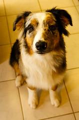 122/365 Cap (BlueDog_1199) Tags: blue dog canon puppy rebel shepherd australian days cap captain 365 aussie australianshepherd merle t1i