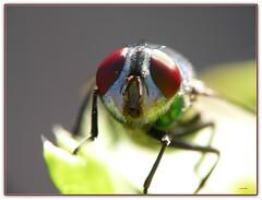 """Ritratto """"Lucilia sericata"""" (Schano) Tags: macro closeup insect photo foto insects makro mosca insetto macrofotografia macrofotografias dittero invertebrati invertebrato luciliasericata photonatura obiettivoinvertito wonderfulworldofmacro panasoniclumixdmcfz28 panasonicfz28 panasonicdmcfz28 panasoniclumixfz28 obbiettivoinvertiti135mm"""