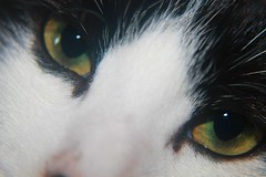Cat's eyes (kaylo88) Tags: pink rescue pet white cute green closeup cat nose amber back eyes pretty handsome kitty whiskers catseyes rspca