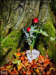 365 CLOSER LOOKS - 123 (chando*) Tags: red roses tree fleurs rouge bucket 365 arbre oop tronc seau fortdesoignes feuillesmortes