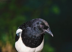 magpie profile (Tales From The Riverbank) Tags: uk bird john wildlife magpie corvid daly