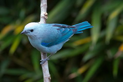 Azulejo (Thraupis Episcopus) (Jos M. Arboleda) Tags: blue bird canon eos jose gray ave 5d azulejo tanager arboleda markiii thraupis episcopus passeriforme thraupidae mygearandme josmarboledac ef400mmf56lusm14x