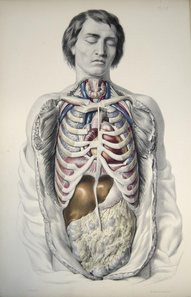 Modern Human Anatomy Rib Cage Organs Collection - Anatomy And ...
